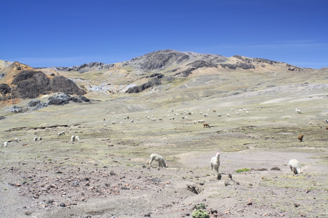 Alpacas near Abra Ccotaccasa