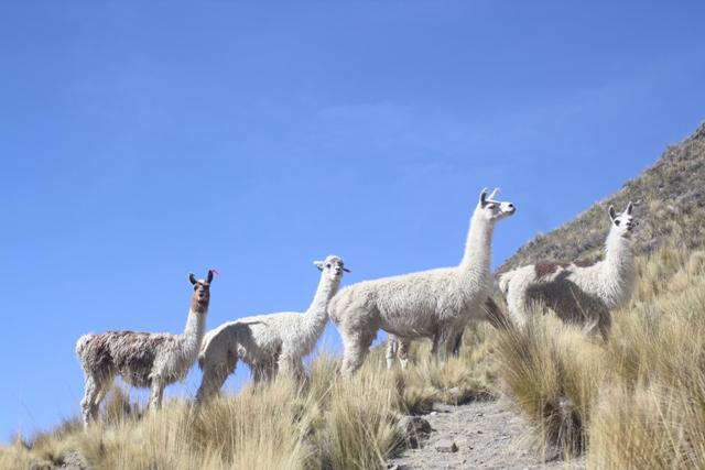 Llamas near Chinchayllapa