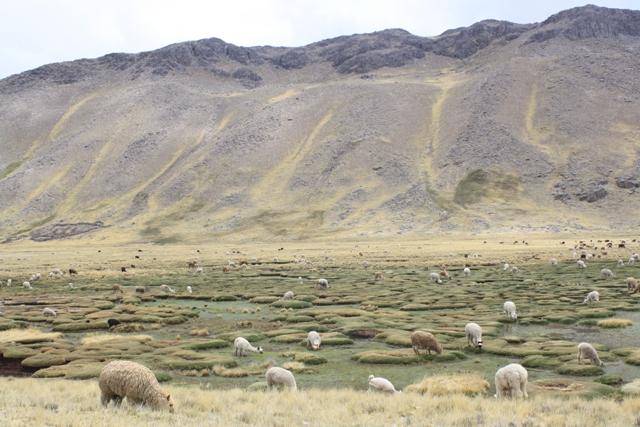 Alpacas near Cucho Capilla