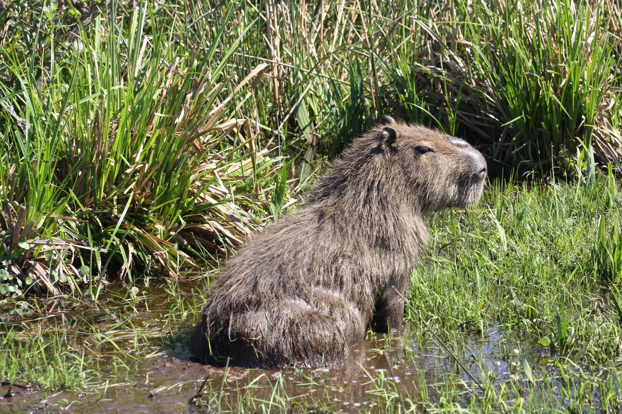 Capybara in the Esteros del Ibera