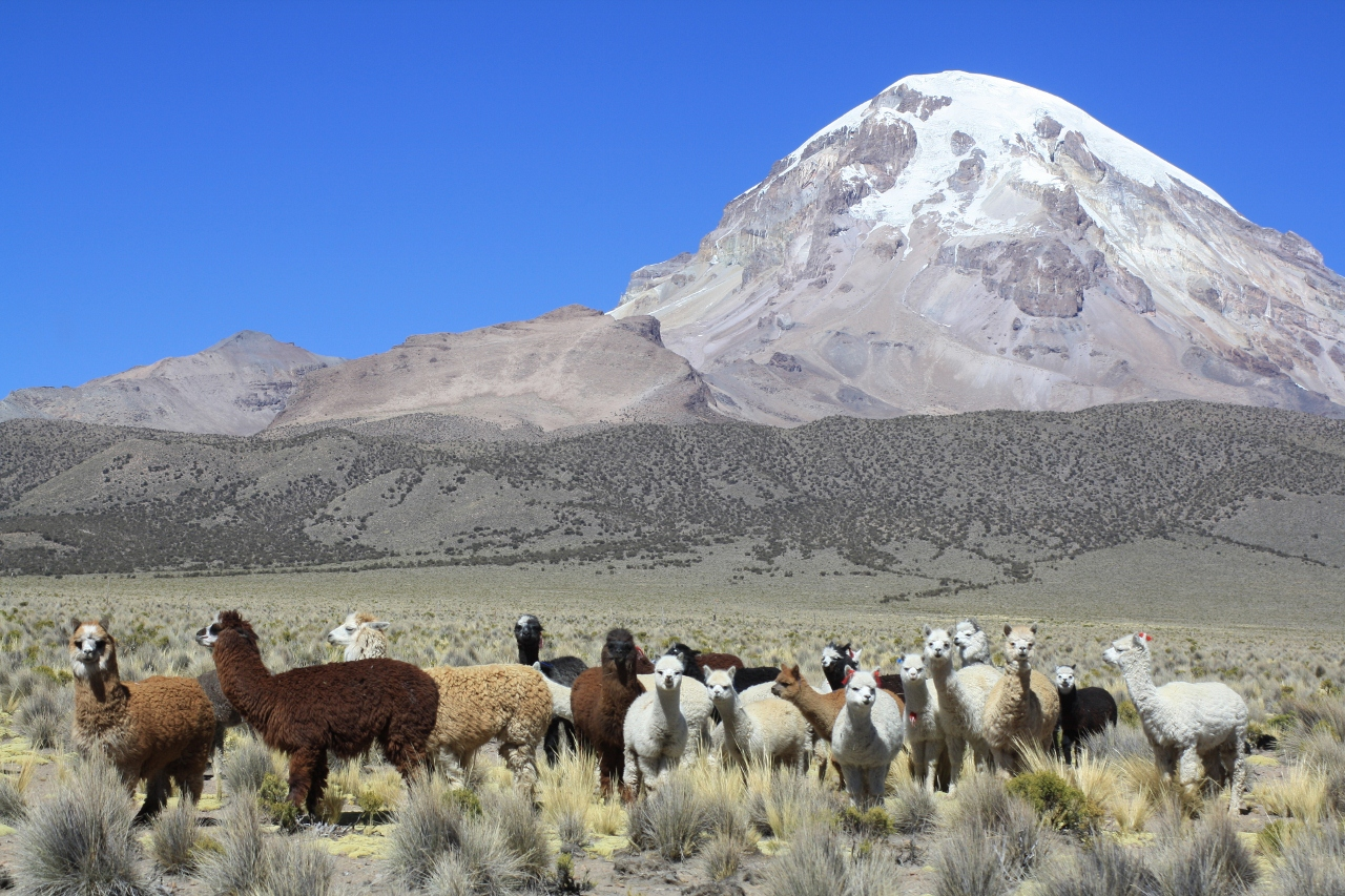 Alpacas and Sajama