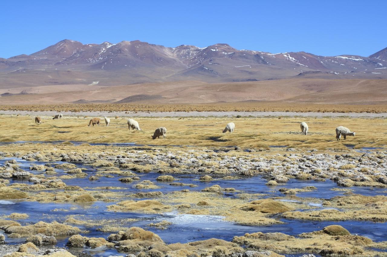 Llamas near Salar Capina