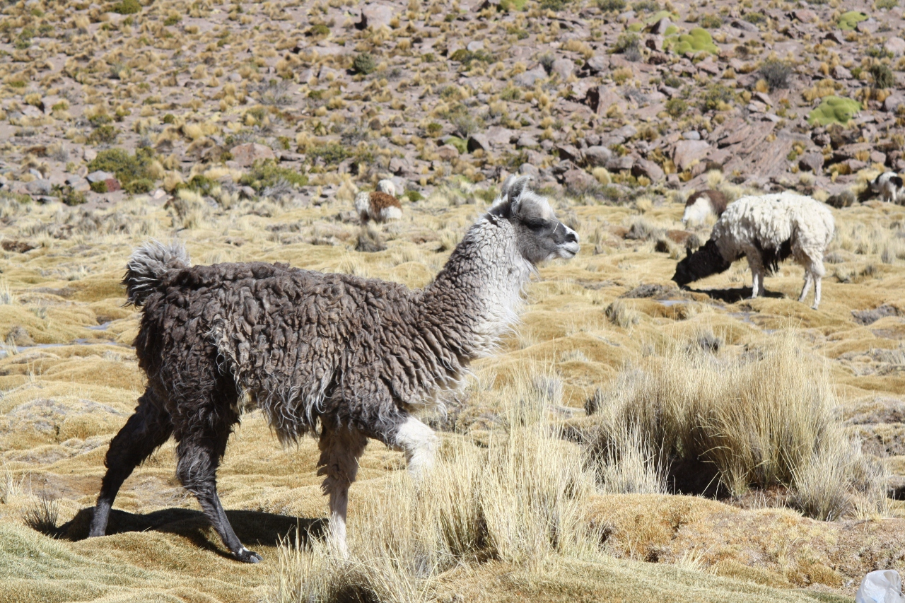 Llama on the descent to Villamar