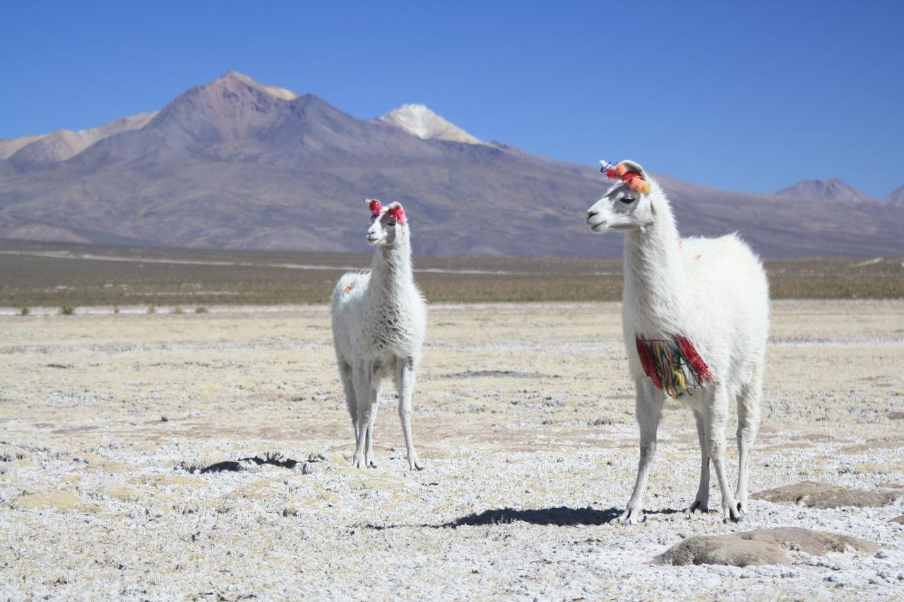 Llamas near Sabaya